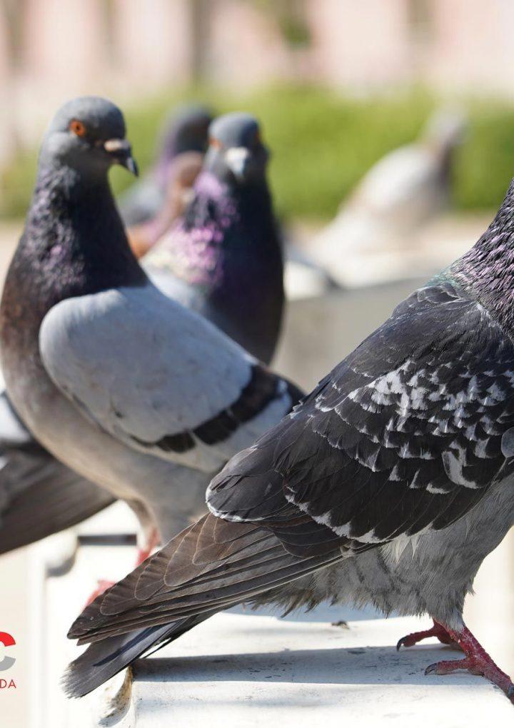 Biopyc recomienda realizar control de aves en la industria alimentaria y en espacios urbanos